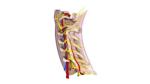 Nerfs spinaux cervicaux : tout ce que vous devez savoir