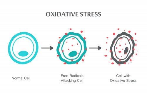 Un schéma qui explique le stress oxydant