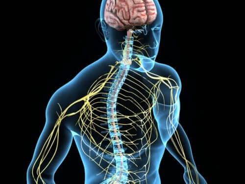 Le système nerveux et les nerfs spinaux cervicaux