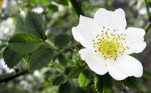 L'aubépine fait partie des meilleures herbes médicinales