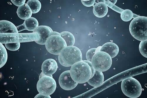 Les bactéries d'une infection vaginale à levures
