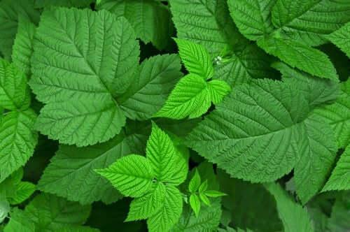 Parmi les meilleures herbes médicinales figurent les feuilles de framboisier