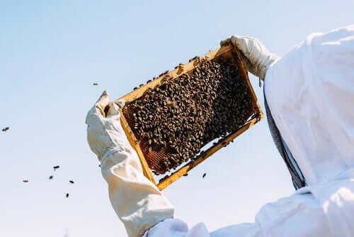 Un apiculteur récoltant la gelée royale