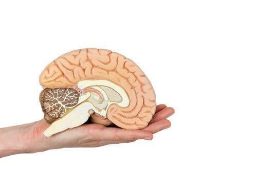 Une coupe transversale du cerveau