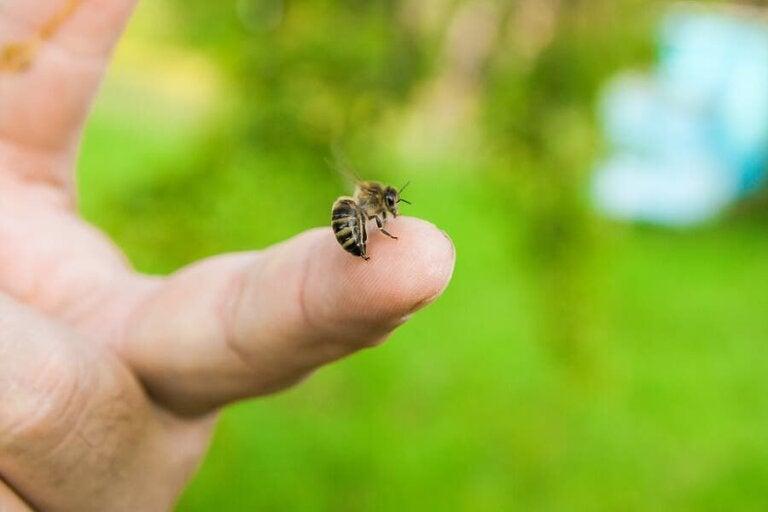 Que faire en cas de piqûre d'abeille ?