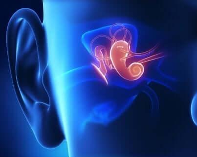 Anatomie de l'oreille interne.