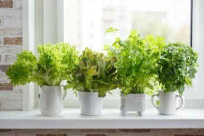 Comment cultiver des plantes aromatiques