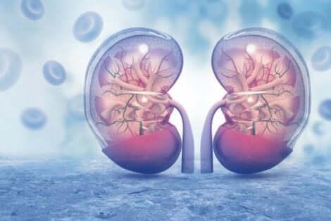 Le fonctionnement des reins permet de nombreuses choses dans l'organisme.