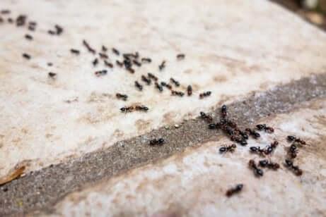 fourmis alignées