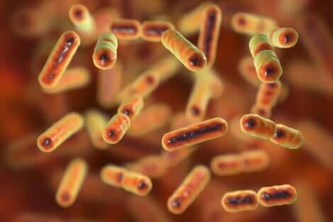 Les bactéries de la flore intestinale altérée.