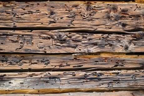 Du bois attaqué par des vers.