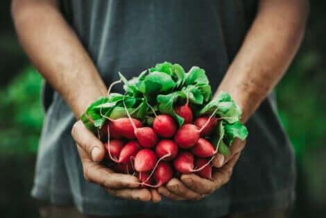 Botte de radis dans une main.