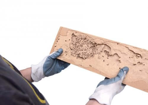 Comment détecter la présence de vers à bois