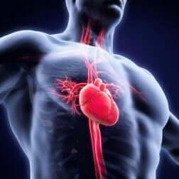 Schéma du système cardiaque.