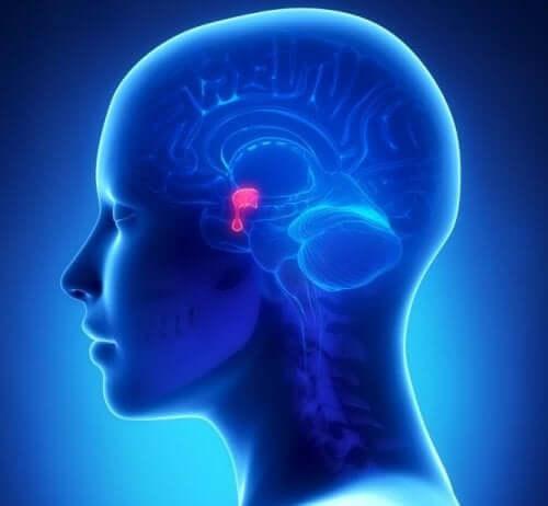 La glande pituitaire.