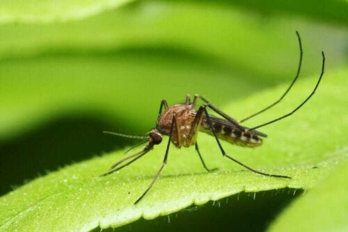 Les principales maladies transmises par les moustiques