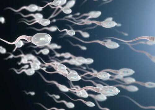 Des spermatozoïdes en image.