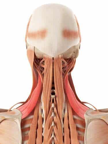 De quels os et cartilages le cou est-il composé ?