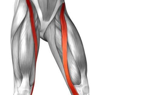 Anatomie du muscle Sartorius.