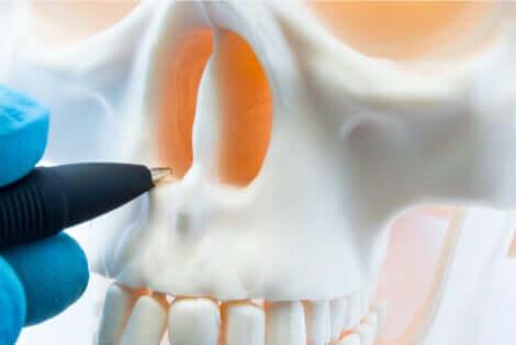 Anatomie du nez.