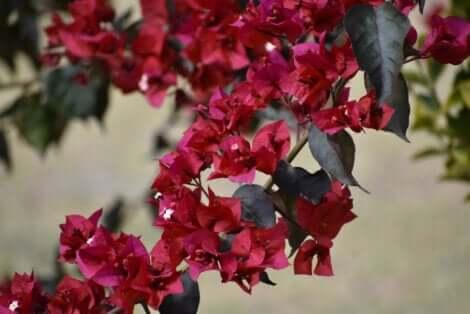 Fleurs de bougainvillier.