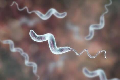 Une bactérie campylobacter.
