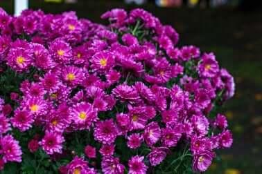Chrysanthèmes pourpres.