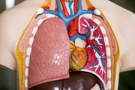 Schéma des poumons.