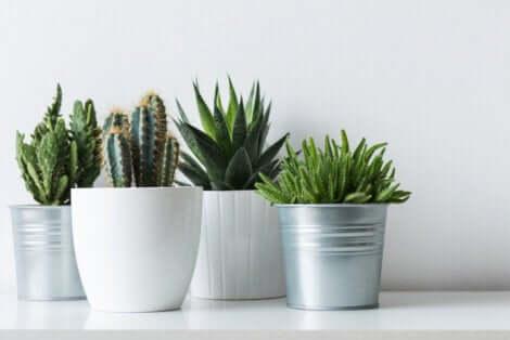 4 variétés de cactus.