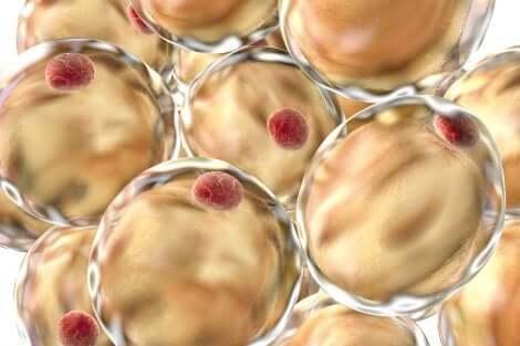 Des adipocytes en image.