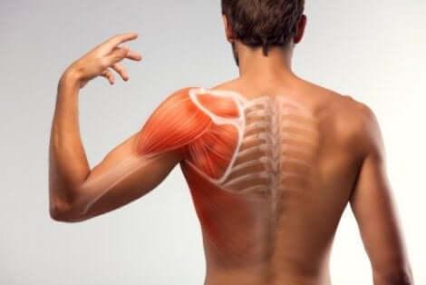 Anatomie de l'épaule.