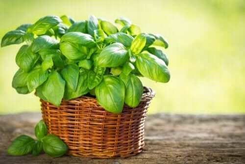 Types de basilic à cultiver dans son jardin