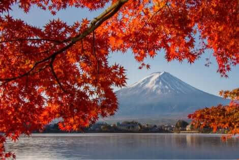 Un érable palmé devant le Mont Fuji.