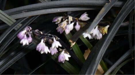 Le nigrescens est une plante de couleur noire.