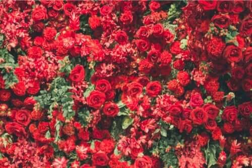 6 belles plantes de couleur rouge