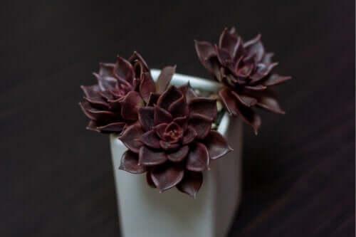 7 plantes originales de couleur noire