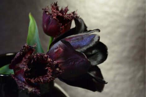 Une tulipe Queen of night.