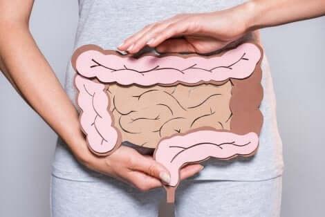 Schéma des intestins.