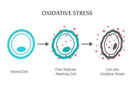 Le stress oxydatif sur les cellules.