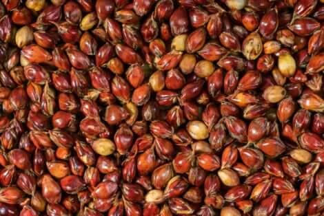 Des graines de sorgho.