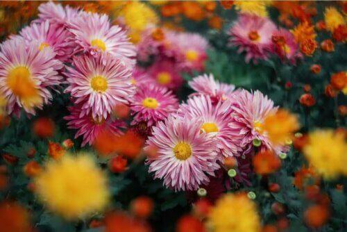 Une plante de chrysanthème.