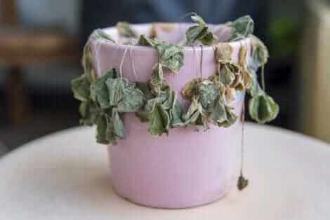 Une plante morte dans un pot.