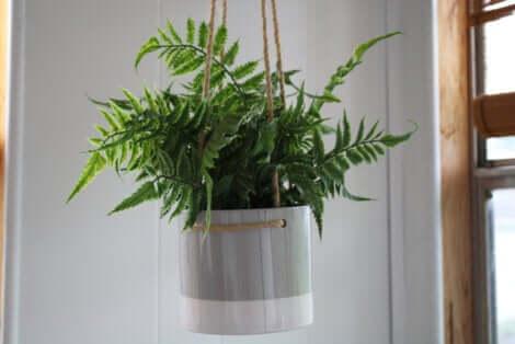 Une plante suspendue.