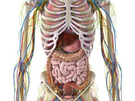 Le système lymphatique dans le corps.