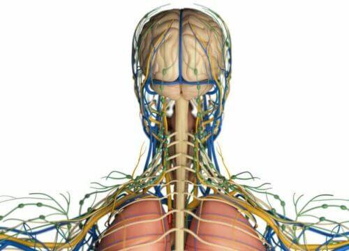 Quelle est la fonction du système lymphatique dans l'organisme ?