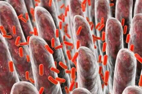 Avec un intestin perméable, les bactéries peuvent pénétrer dans le reste du corps.