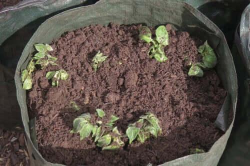Comment semer des pommes de terre chez soi