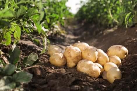 La culture de pommes de terre au jardin.