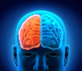 Les deux hémisphères du cerveau.