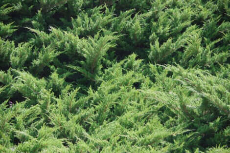 Les plantes en paillis ajoutent de la nutrition à la terre du jardin.
